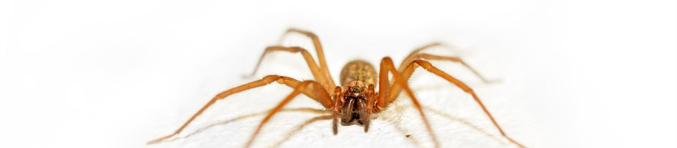 Araña de rincón: viviendo con el enemigo